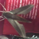 Lesser Vine Sphinx Moth