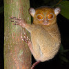 Horsfield's tarsier
