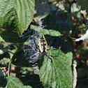 Black and yellow garden spider (female)