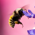 mountain bumble bee