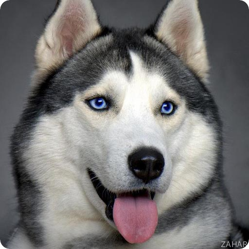 Huskies Dogs Wallpapers LOGO-APP點子
