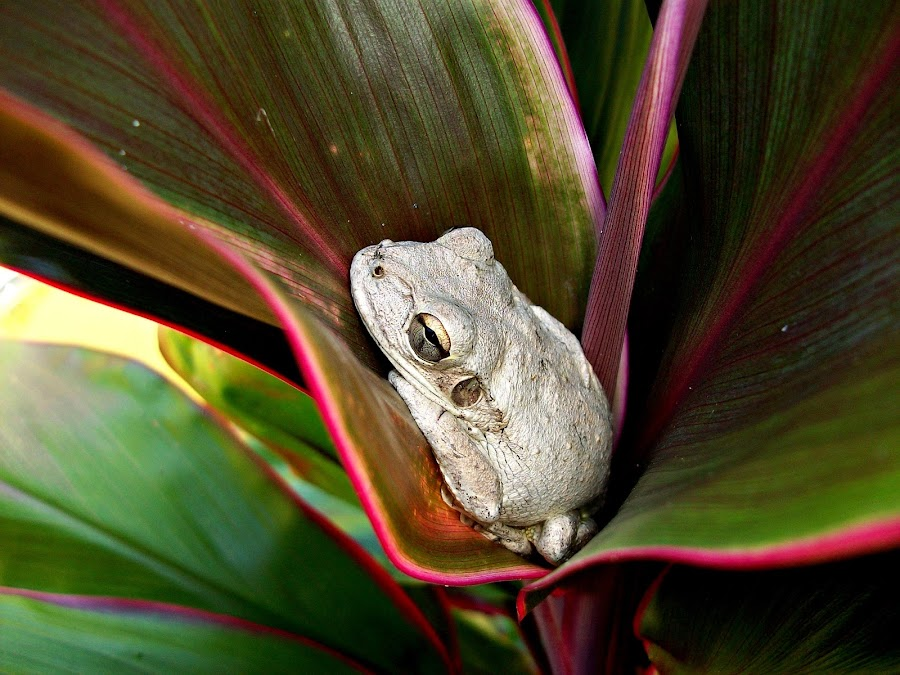 Frog (Daytime resting spot) by Cindy Brown - Animals Amphibians (  )