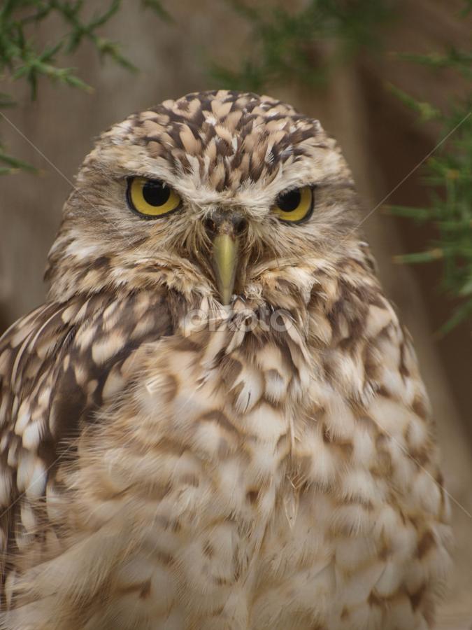Burrowing Owl by Garry Chisholm - Animals Birds ( bird, garry chisholm, nature, owl, wildlife, prey, raptor )