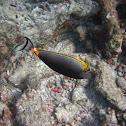 Orange-spine Unicornfish