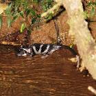 Water opossum