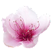 Plum Blossoms Live Wallpaper icon