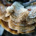 Crusty Fungus