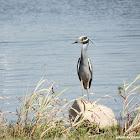 Yellow-Crowned Heron