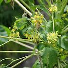 Papaya Tree (male)