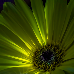 Flower by GokulaGiridaran Mahalingam - Flowers Single Flower ( flower,  )
