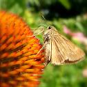 Sachem Skipper Butterfly