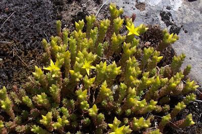 Sedum acre, Borracina acre, goldmoss stonecrop, mossy stonecrop, stonecrop, Wall Pepper, wall-grass, wall-pepper