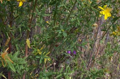 Hypericum perforatum, common St Johnswort, common St. John's wort, common St. Johnswort, Echtes Johanniskraut, Erba di S.Giovanni comune, goatweed, hierba de san juan, Johanneskruid, Klamath weed, Klamathweed, milfurada