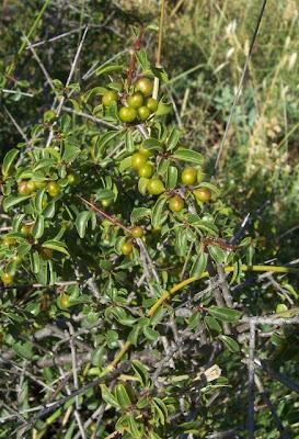 Rhamnus saxatilis, Licio italiano, Prunello, Ranno spinello, rock buckthorn