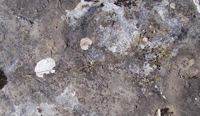 Linum tryginum, Lino spinato