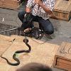 Monacled Cobra