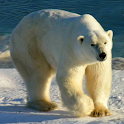 Wild Animals of the Arctic 1