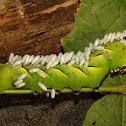 Laurel Sphinx Caterpillar