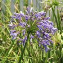African lily or Nile lily
