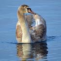 Mute swan (immature) - Cygne tuberculé - Höckerschwan