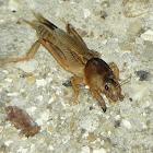 Tawny Mole Cricket (female)