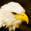 Bald Eagles Wallpapers icon