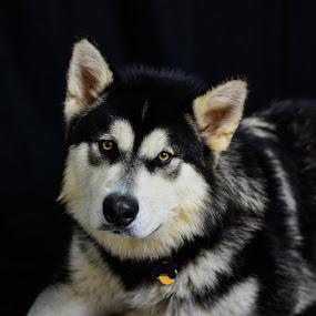 Nanuk by Jon Kowal - Animals - Dogs Portraits