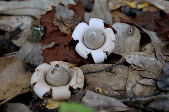 Rounded Earthstar Mushroom | Project Noah