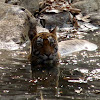Bengal Tigress, and her cub
