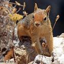 Persian Squirrel