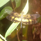 Common picture wing