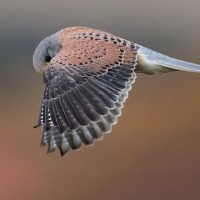 Kestrel by Howard Kearley - Animals Birds