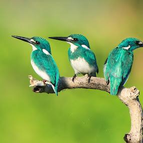 3 Jiwa dalam 1 Spesies (Smaal Blue Kingfisher) by Andi Albayquni - Animals Birds ( animals, birds, photography )