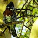 Gaint Kingfisher