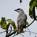Black-faced Cuckooshrike