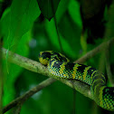 Waglers Viper