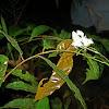 Leaf-mimic Katydid