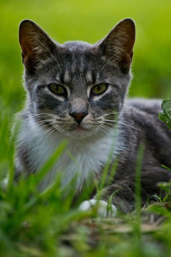 by Ashley Baker - Animals - Cats Portraits ( #GARYFONGPETS, #SHOWUSYOURPETS )