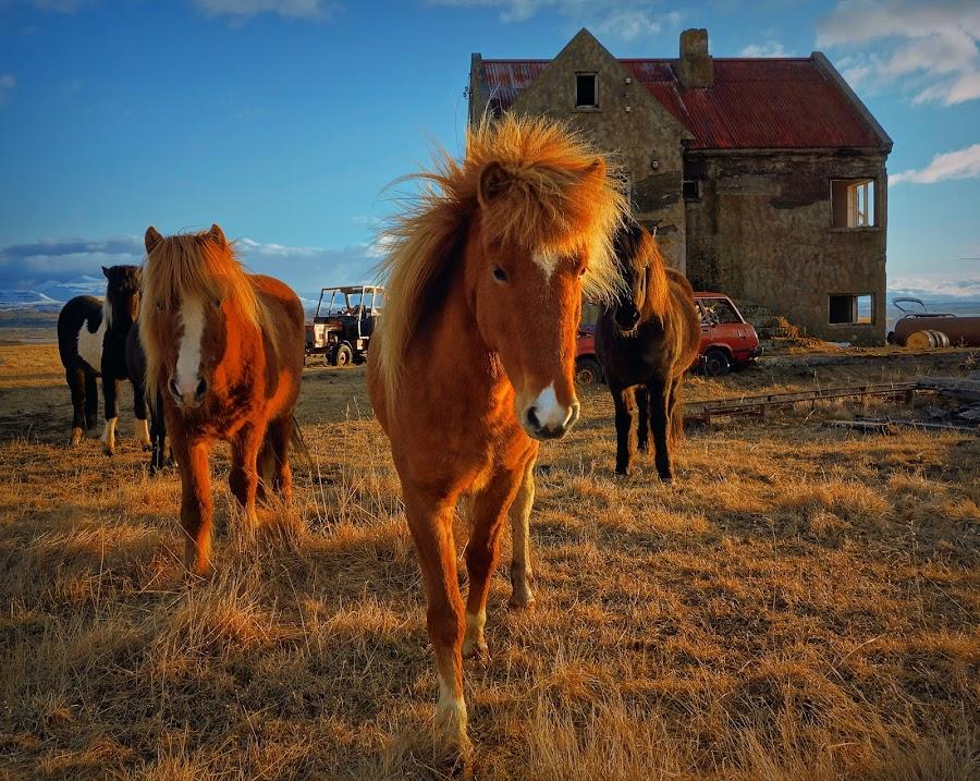 Wild horse at an abandoned farm by Kristján Karlsson - Animals Horses ( icelandic, farm, horses, sunset, ruin, abandoend )
