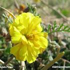 Vinagrillo de flor doble