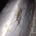House Centipedes