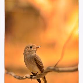 by Madhu Payyan Vellatinkara - Animals Birds ( rare, sparrows, nikon, dusk, birds )