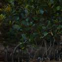 Australian Mangroves