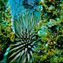 Wana, Sea Urchin