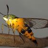 Gardenia Bee Hawk Moth