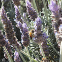 Honey Bee Busy With Lavender