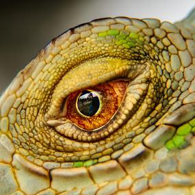 iguana by Kimpul Kimpul - Animals Reptiles ( love, abstract, reptiles, sex, iguana, skin,  )