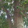 Tall mature single leaf tree