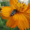 Wood boring beetle-Buprestidae?