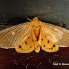 Asota Moth